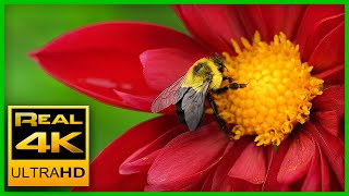 Breathtaking Colors of Nature in 4K II 🌹🌷 Beautiful Flowers - Sleep Relax Music UHD TV Screensaver thumbnail