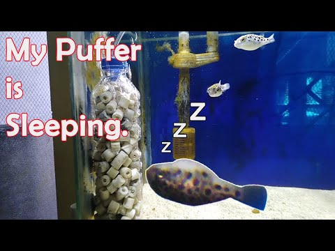 How Puffers Sleep (GSP - Green Spotted Puffer Fish)