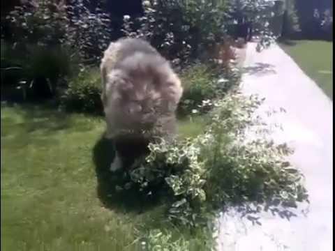 Kafkas Çoban Köpeğinin Bahçe Gezintisi
