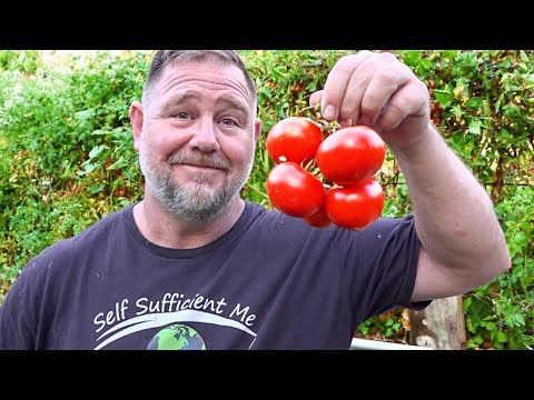 GROWING AVOCADO   MULBERRY   CABBAGE   TOMATO   DUCK   VLOG