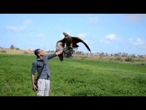 Raptors Club - Altair Imperial Eagle