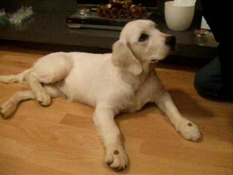 Perro golden retriever de 10 meses