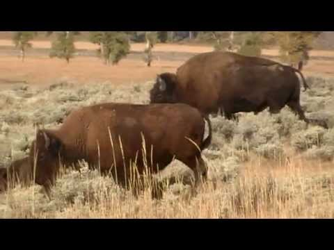 American Bison - Rivers & Valleys in Yellowstone