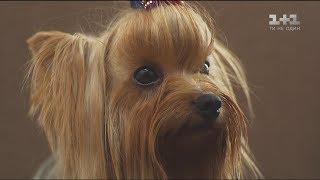 Мініатюрні охоронці – собаки породи йоркширський тер'єр