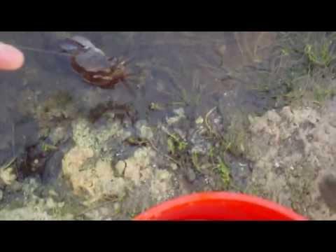 Walking Catfish Fishing Video