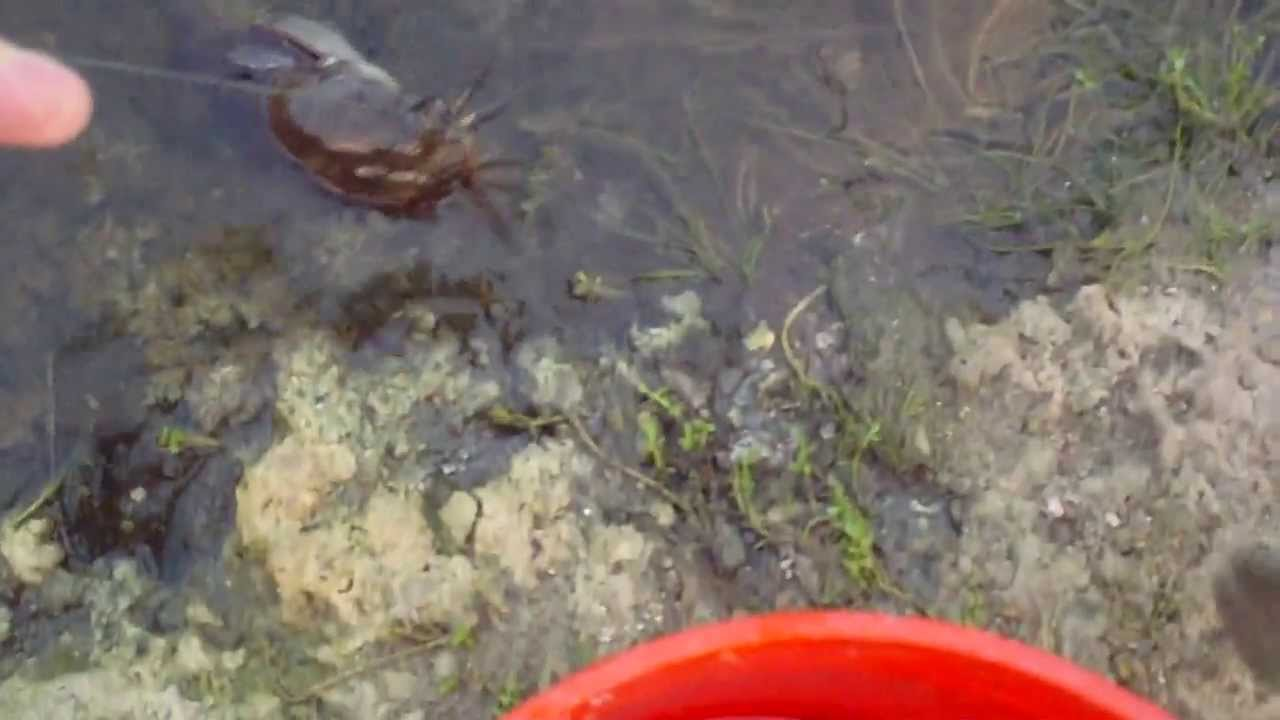 Walking catfish fishing video - YouTube - photo#33