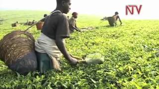 NTV Connect: Kabarole Tea plantains