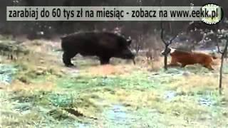 Walka psa myśliwskiego z Dzikim Dzikiem.
