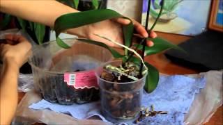 Как правильно ухаживать за орхидеей фаленопсис. Пересадка орхидеи(Пересадка цветущей орхидеи. Аккуратная пересадка, да бы не повредить корни. Были сомнения в грунте и корнев..., 2015-03-24T11:40:26.000Z)