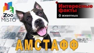 Амстафф - Интересные факты о породе  | Собака породы амстафф