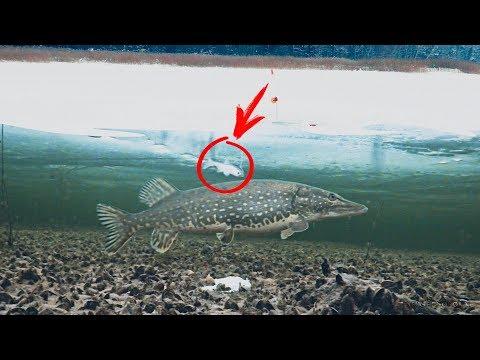 РЫБАЛКА НА 5 ПОДВОДНЫХ КАМЕР! Зимняя рыбалка на Жерлицы! Щука, Окунь. Подводная съемка