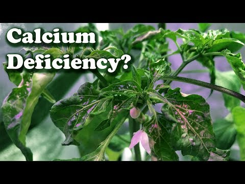 """How to Tell If a Plant May """"Not"""" have a Calcium Deficiency"""