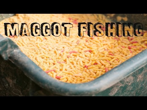 Maggot Fishing On Commercial Fisheries - Roach, Perch, Carp And F1s!