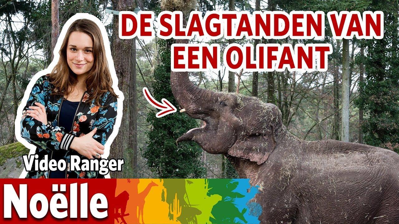 Wat gebeurt er met de slagtanden van een olifant? 🐘