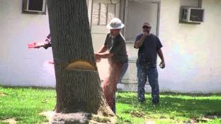 Dropping a big heavy leaning dead Ash tree