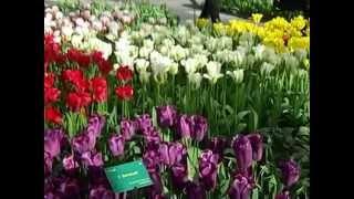 Keukenhof Tulips 2012 Holland