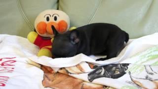 2011年11月30日生まれのフレンチブルドッグの子犬です。 http://wanboh....