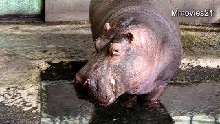 円山動物園のカバ、ザン(メス/38歳)。 水に入り、動きが活発でした。 19...