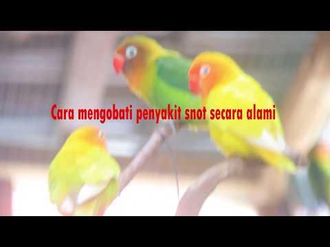 tips-cara-mengatasi-penyakit-snot-pada-lovebird-secara-alami-dan-pencegahannya