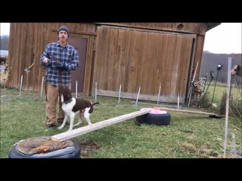 Puppy Australian Shepherd Vs Adult German Shorthaired Pointer / NYC dog training