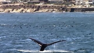 7.28.15 Humpback Whales & Common Dolphins #Monterey #Travel #Adventure