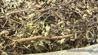 เที่ยวฟาร์มจิ้งหรีดเมืองดาลัด เวียดนาม (Cricket farms in Vietnam)