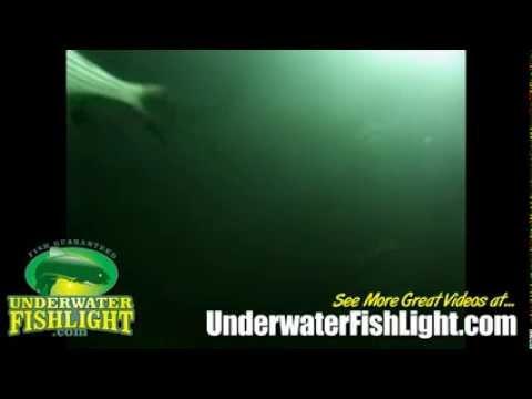 Underwater video of stripers feeding around fishing light for Green monster fishing light