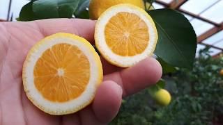 лимон Сангвинум