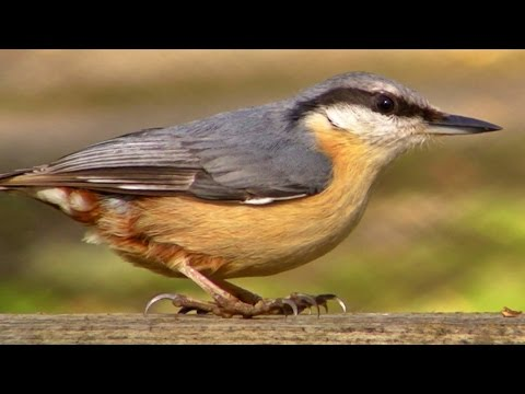 Nuthatch - Wildlife in Cornwall