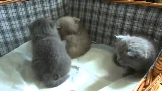 Приколы с животными  Смешные британские котята