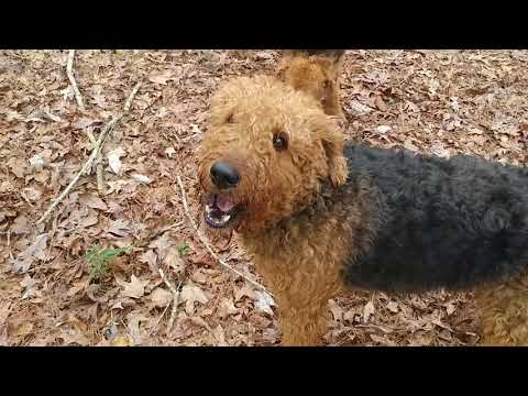 Squirrel Tree Playing AKC Purebred Airedale Terrier Puppies For Sale On February 1, 2019