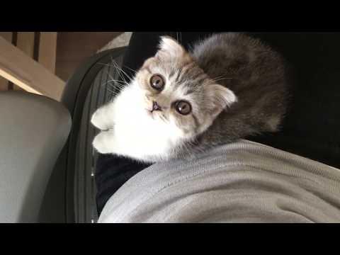 [ぐう5]飼い主を上目遣いで翻弄する猫/Cute kitten on knee