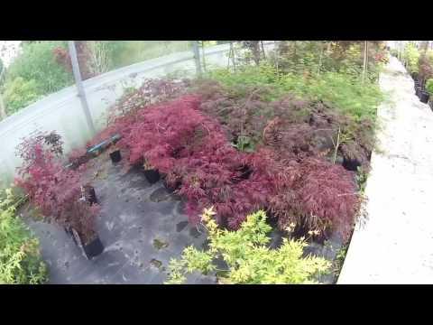 Various Japanese Maple Varieties at Big Plant Nursery's 2nd Growing Site in West Sussex, UK