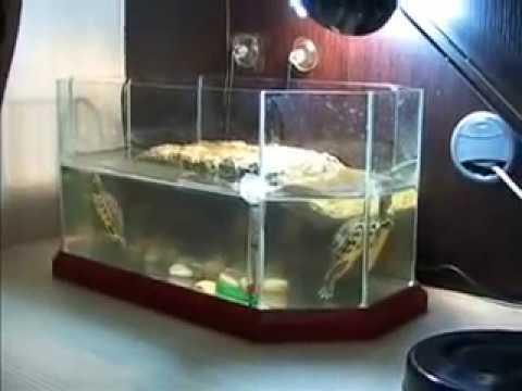 2 tartarughe d 39 acqua entrano per la prima volta nel for Tartarughe nel laghetto