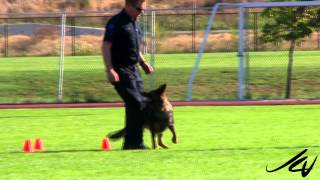 2014 Canadian Police Canine Association Trials -  'asher' And 'mishka' -    Youtube