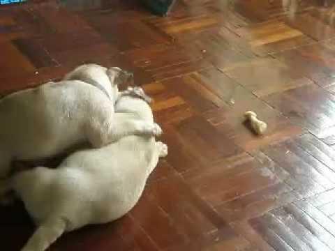 ลูกสุนัขพันธุ์ปั๊กสุดซ่าและน่ารัก