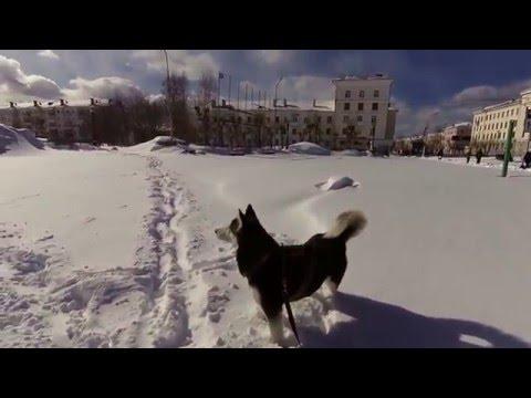 По площади Краснотурьинска на лыжах с собакой
