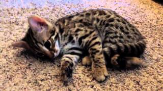 Having a conversation with my F1 Bengal kitten