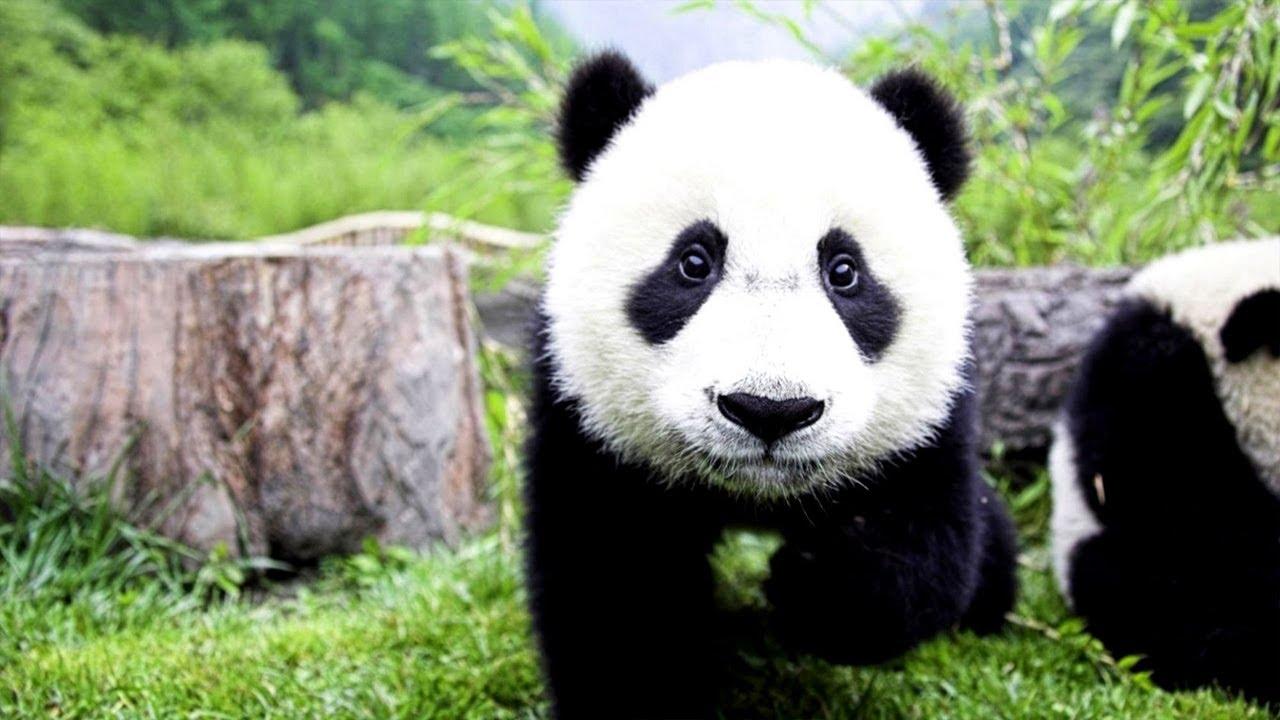 Super Funny Panda Fighting[HD] - YouTube
