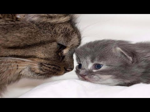 Kittens Talking and Playing with their Moms Compilation | Cat mom hugs baby kittens