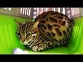 Новый бенгальский кот пропал и небольшая новость из BobCat ТВ