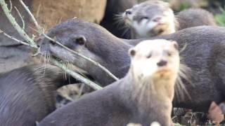 Otter babies go exploring