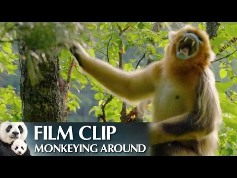 """""""Monkeying Around"""" Clip - Disneynature's Born in China"""
