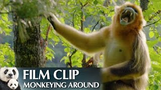 """Monkeying Around"" Clip - Disneynature"
