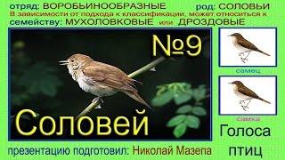 Соловей. Голоса птиц