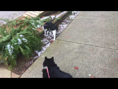 Schipperke Dog Attacked by Evil Nemesis Kitten