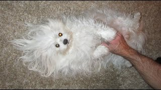 Fluffy Going Nuts - She Is Part Maltese & Part Pomeranian
