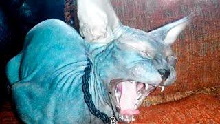 ЭТО КОШКА!!?? донской СФИНКС зевает и урчит CAT Sphynx yawns and hums