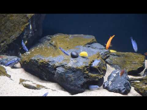 Malawi i przegląd gatunków ryb #25. AkwaGadka