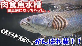 【スネークヘッド】白点病になっちゃった、、 魚達のズーム撮影☆ 90アクアリウム 90aquarium carnivorous fish 【肉食魚】